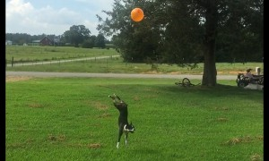 High-flying Boston Terrier refuses to let balloon touch ground