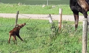 Baby Moose Bound by Barbed Wire