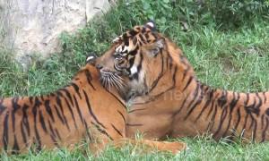 Sumatran tiger becomes a tough stud at Indonesian zoo despite its limp
