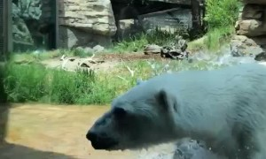 Polar Bear Catches Duck that Flew into Enclosure