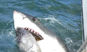 Watch slo-mo footage of a great white shark latching onto a tuna head and ripping it apart