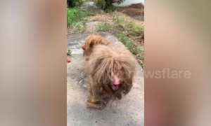 Heartwarming moment neglected pooch with dreadlocked fur receives a haircut