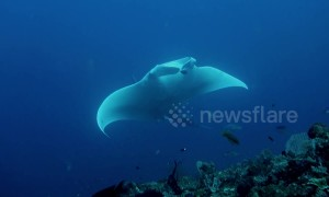 Incredibly rare white manta ray is mesmerizing