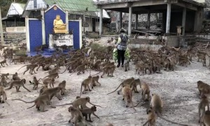 Lunch line: Barrel of monkeys storm woman for food in Thailand