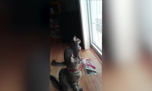 Cute Kitties Chirp at Birds