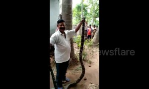 Indian family shocked to find king cobra creeping across kitchen