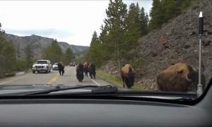 Scary moment shows bison herd charging towards vehicle