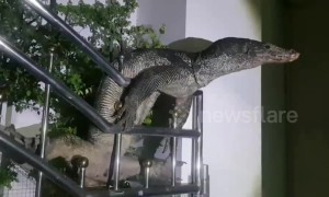Hapless monitor lizard rescued after getting stuck 'spread-eagle' climbing gate