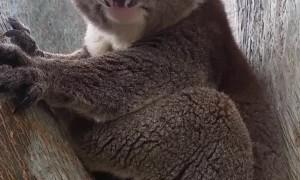 Mating Call Has Koala Choked Up
