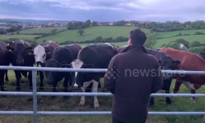 Herd of curious cows flock over and quietly listen to man singing Irish folk ballad