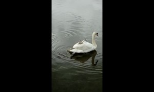Baby swans get a ride on mum's back in English lake