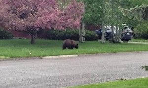 Bear Spotted in Bozeman