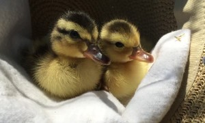 Adorable ducklings fall asleep in a cozy hat