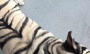 Fearsome Tiger Striped Frenchie