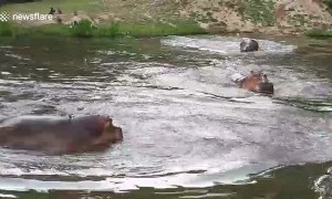 Hippos dive into pond to cool off from scorching heat at Thai zoo