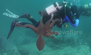 Giant octopus launches attack on diver off Sea of Japan