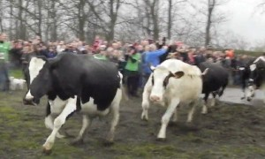 Cows jump for joy during first outing in months