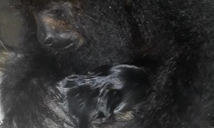 Howler Monkey Sees First Puppy
