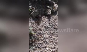Huge swarms of locusts infest Italy's west coast