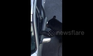 Wild black bear opens door of parked car in Tennessee