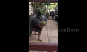 UK pup headbangs to try and remove tennis ball stuck on its nose
