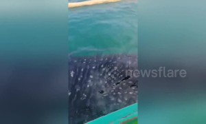 Tourists amazed as whale shark breaches inches from their boat off the Philippines