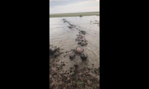 Herd of buffalo form line to wade through flood waters in Thailand