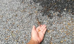 Wild lizard takes food from hand