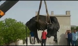 Bull removed from roof of family home with crane