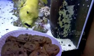 Fish desperately tries to get at cookies through glass of its tank