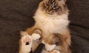 Super cute cat loves getting vacuumed