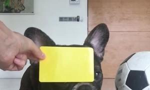 French Bulldog Wants to be a Football Referee