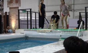 Dog diving diva: Smart Jack Russell dodges effort in event unlike Corgi competitors
