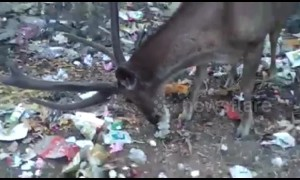 Heartbreaking footage of wild deer munching on plastic-wrapped leftovers