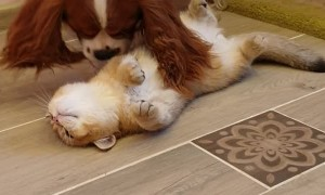 Dog Kisses and Caresses the Cat