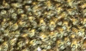 Bunches of Bees Takeover Bedroom