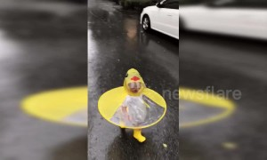 Baby girl in a duck themed coat joyfully runs through the rain in Shanghai