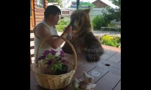 Happy bear shares yogurt with his owner in Russia