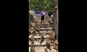 Monkeys scramble up the stairs for dinner