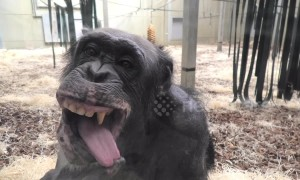 Chimp with ridiculously expressive face checks herself out in window