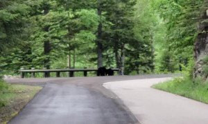Bears Go Roaming Down the Road