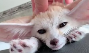 Cute Fox Feels Fine