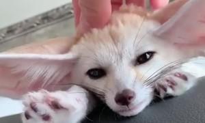 Cute Fox Feels Fine