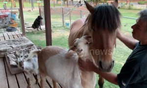 Jealous goat interrupts pony's grooming session at Arizona farm