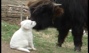 Bison and guard-dog puppy quickly become friends