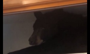 Officers find bear napping on closet shelf in Montana home