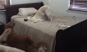 Dog shows her guilty face after caught playing on bed