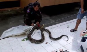 Prankster dumps 15-foot-long python at police station where boss is afraid of snakes