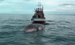 Huge dead whale dragged ashore in Thailand to investigate its cause of death