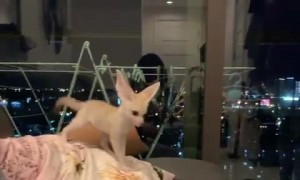 Fennec Foxes are Excited for Owner's Return